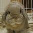 たれ耳うさぎ Lop ear rabbit