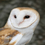 The Owls of Ojai - Barn Owl nestcam