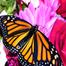 Monarch Cam