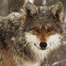 WCC Mexican Gray Wolf 1 Den