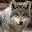WCC Mexican Gray Wolf 2 Enclosure