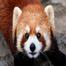 野毛山動物園 レッサーパンダ