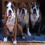MY BULLDOGS AT PLAY