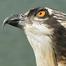Audubon Osprey Cam