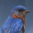 CraftyLady6 Blue Bird Nesting