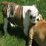 baysidebullies  breeding english bulldogs