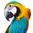 5 month old Blue and Yellow baby macaw Mero