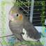 cockatiel taroumaru 