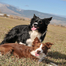 GameOn Border Collies