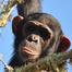 Chimp Eden Nina Cam
