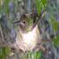 Anna's Hummingbird Nest - Babies Rescued