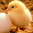 A baby chick is born!