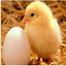 Lakeside Chicks Cam 2