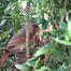 Cardinal's nest live view