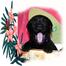 Grampian Labrador Pups