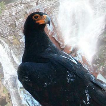 Africam Black Eagle On Ustream The Black Eagle Cam Will