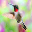 Ruby-throated Hummingbirds Maryland