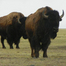 Bison Water Hole - Grasslands National Park