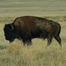 Bison and Prairie Dogs - Grasslands National Park