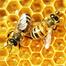 Honey Bees - Hive