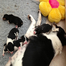 SmartWorkingKennel BorderCollie A-litter
