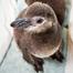 Magellanic Penguin Nest Cam