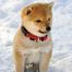 Shiba Inu Puppy Cam Northwest