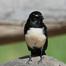 Willy Wagtail Nest - Australia