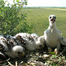 Parlagi sas fészek 1. / Imperial Eagle nest 1.