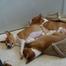 Basenji Puppies - Hattie
