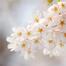 벚꽃 24시