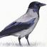 Dolmányos varjú / Hooded Crow