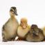 K-506 Hatches Ducks 2014