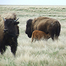 Bison Calving Cam - Grasslands National Park