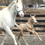 Blazing Colours Farm foaling and riding cam