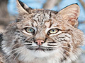 Bobcat Rehab and Release - Big Cat Rescue