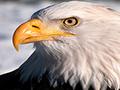 Decorah Eagles - North Nest
