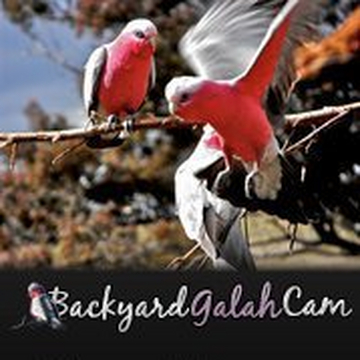 Backyard Galah Cam backyard galah cam goulburn australia