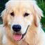 Newborn Golden Retriever Puppies LIVE