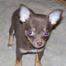 Dubeau Chihuahuas