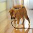 Hannah Shiba Puppy / ハンナ 柴犬