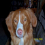 Toller Puppies from Southpaw