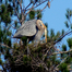 Petaluma River –Heron  (Pictures by Bob Dyer)