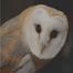 Nestbox barn owl / Nestkast kerkuil