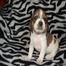 Battle Beagles Puppy Cam
