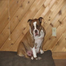 Pelto Bulldogges- Puppy cam