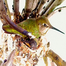 Emma the Hummingbird debuts her newborn babies