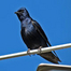 PurpleMartin01