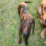 Fairfield Dachshunds - Addison & Mr.Whiskers Babie