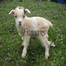 Goat Farm Cam, Live every Spring from Pholia Farm,